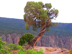 Juniper Tree at Black Canyon at Gunnison National Monument, Colorado (Source: Wikimedia Commons)