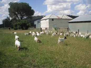 A heard of goats from the goat farm across the road is fond of grazing in Bruce's yard.